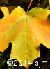 Acer saccharum8