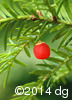 Taxus canadensis14