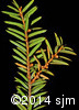 Taxus canadensis4