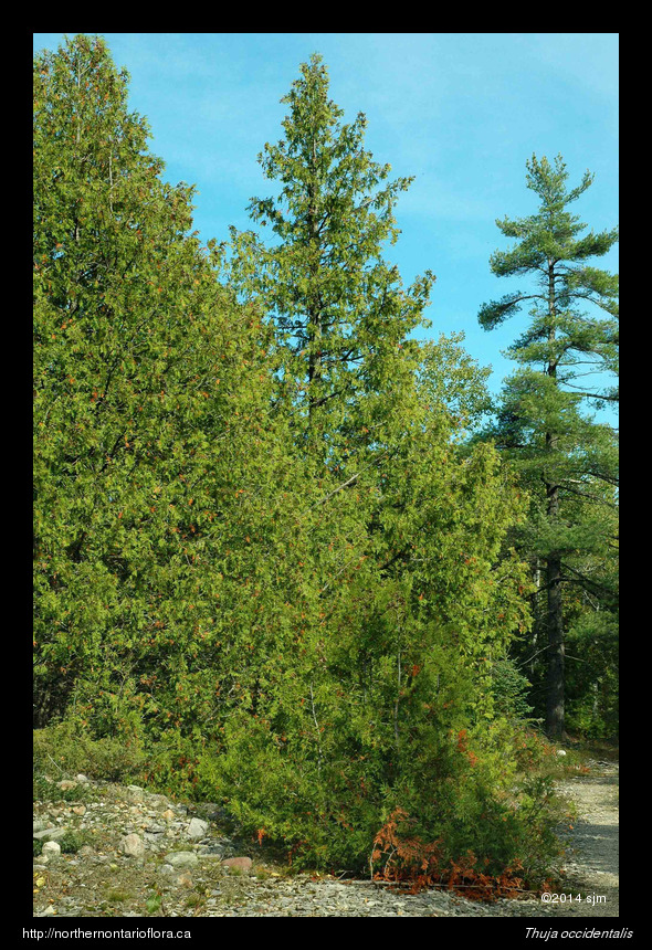 Thuja occidentalis1