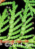 Thuja occidentalis7